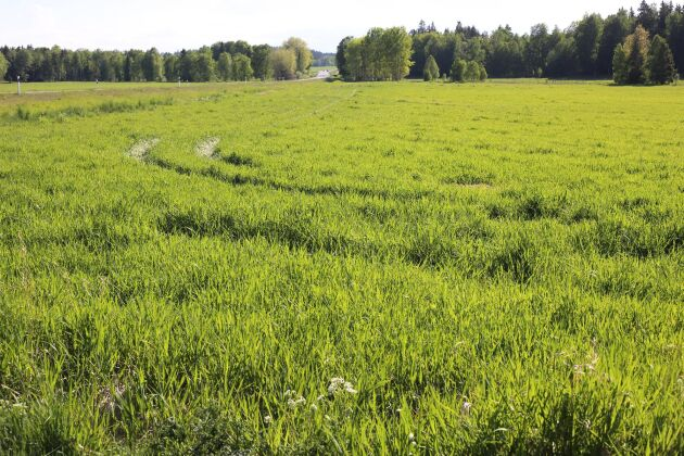 Rörflen är en bra gröda på extensivt odlade marker.