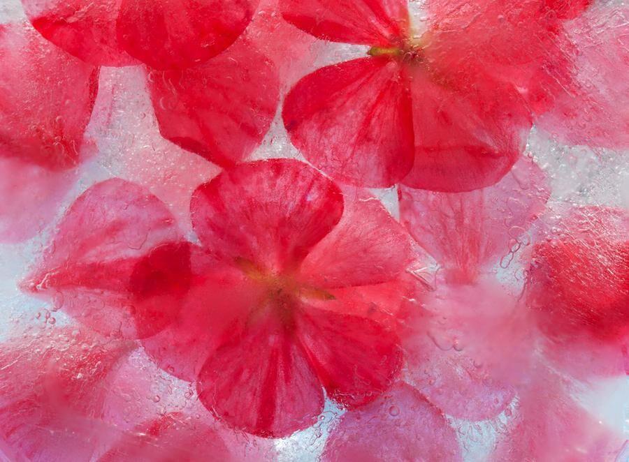 frozen flora -geranium flowers and petals frozen into a block of ice