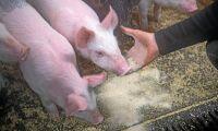 Afrikansk svinpest har nått Kina