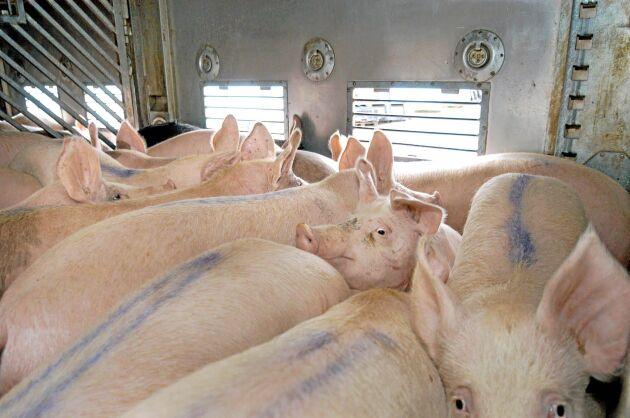 Färre grisar till slakt på danskt slakteri.