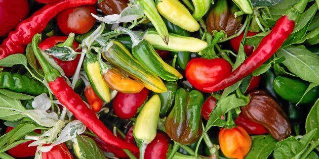 Odla chili – 7 fina sorter att börja med