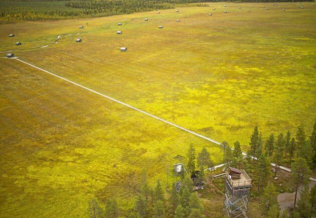 Vasikkivouma har blivit det största besöksmålet i Pajala kommun. Och den största inkomstkällan för lantbrukarna som slår myren.