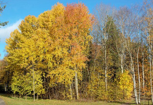 Aspen, erövraren. Sina framgångar som pionjärträd kan aspen till stor del tacka sin goda fortplantningsförmåga för. Vilka aspar som blir gula respektive röda på hösten är en ärftlig egenskap.