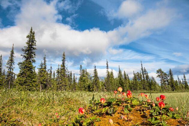 Typiska hjortonmarker. Plantorna trivs i den fuktiga vitmossan intill en igenvuxen tjärn. Här får de fukt och massor av sol. Foto: IBL.