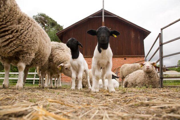 Dorper är en sydafrikansk köttfårsras som introducerades i Sverige 2010.