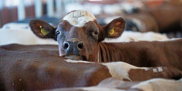 Mjölkinvägningen ökade under 2020