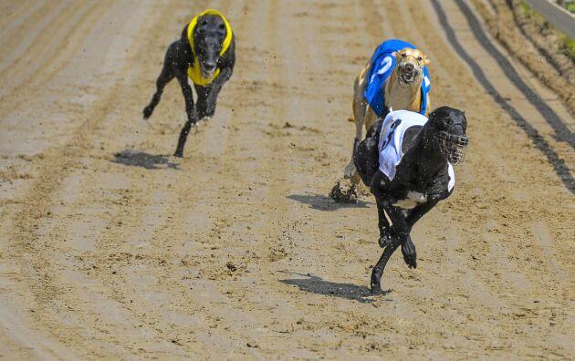 I många andra länder är greyhound racing stort, men i Sverige är sporten liten och framför allt en familjesport.