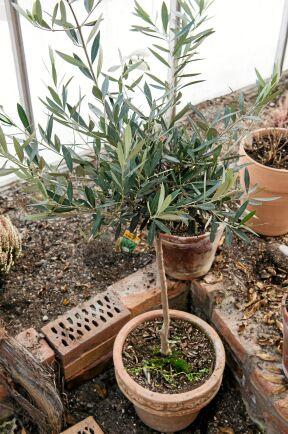 Vårsolen värmer snabbt upp luften så att känsliga växter, som olivträd, kan flyttas ut dit.