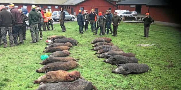 Storjakt gav resultat – sköt 21 vildsvin