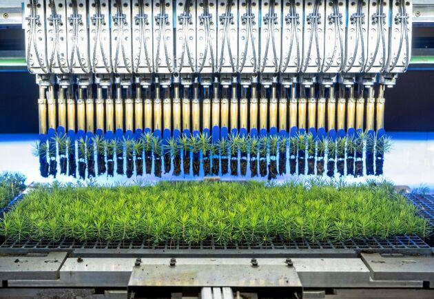 I transplanteringsroboten flyttas plantorna över från de mindre mikroarken till större planteringsark för att växa vidare. Dåliga plantor sorteras bort automatiskt.