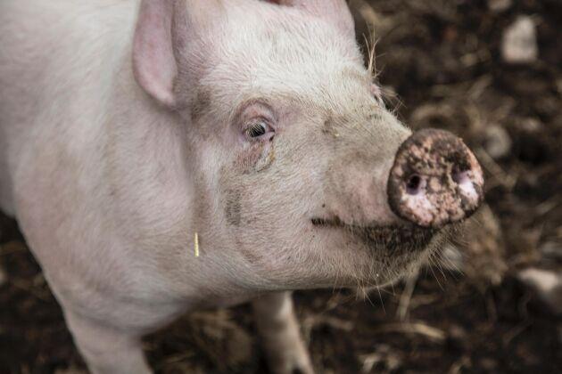 Av de 36 åtgärder som ska förbättra grisproduktionen är 50 procent genomförda enligt Svenska köttföretagen.