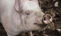 Hälften av grisåtgärderna klara