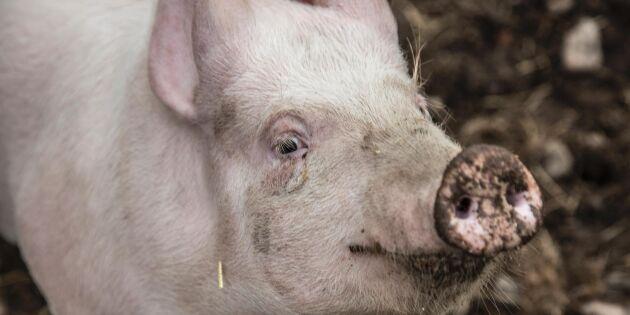 Kraftig sänkning av grispris