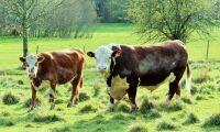 Villiga betala mer för naturbeteskött