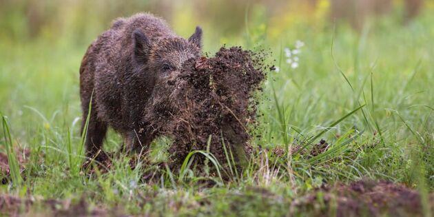 Dags att stoppa utfodringen av vildsvin
