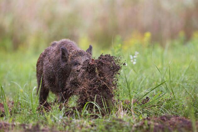 I dag är den svenska vildsvinsstammen så stor att till och med jägarna börjat tröttna, skriver Lena Johansson i sin ledare.