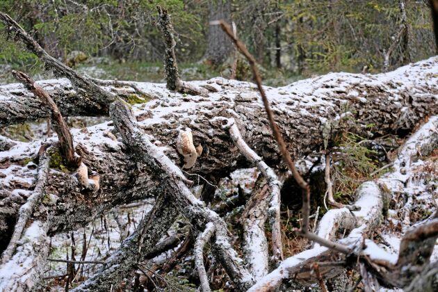 Nedfallna träd är viktiga substrat för svampar och lavar.
