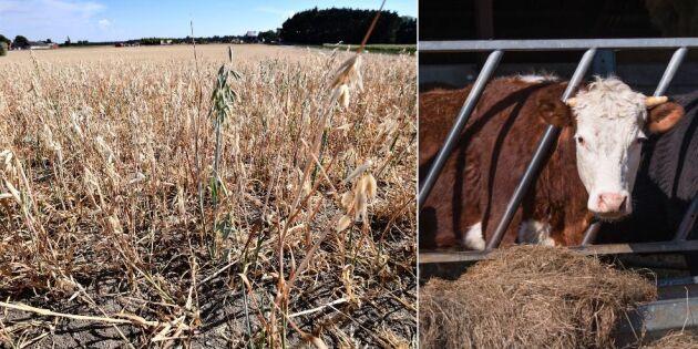 Jordbruksverket: Torkan inte bakom brister på köttgårdar