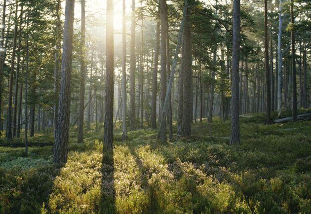 För att underlätta samgåendet planerar Norrskog att göra en ny värdering av sitt skogsbestånd som kommer att visa att Norras och Norrskogs kapital blir lika stort.