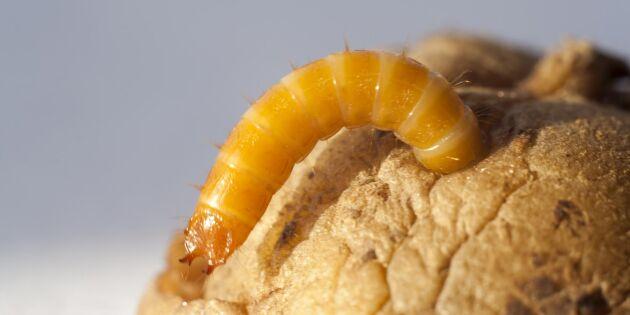 Ekopotatis drabbas ofta av larver