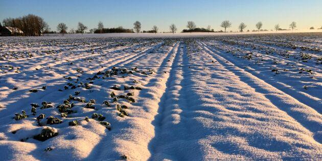 Lantbrukare hoppas på tjockt snötäcke