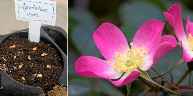Från nypon till buske: Dags att så egna rosor!