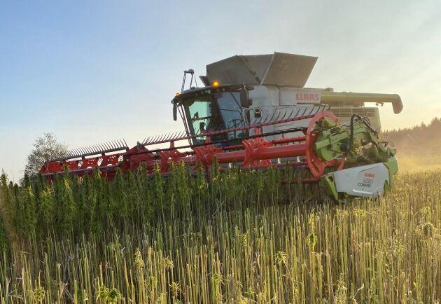 Tröskning av fröhampa. Emil berättar att grödan tycks vara mycket konkurrensstark mot ogräs.