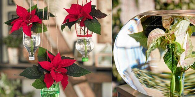 Pynta fint till advent: 6 saker du kan göra med julstjärnor