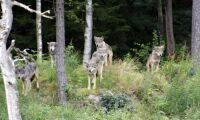 Politiker vill skjuta 30 vargar i Norge