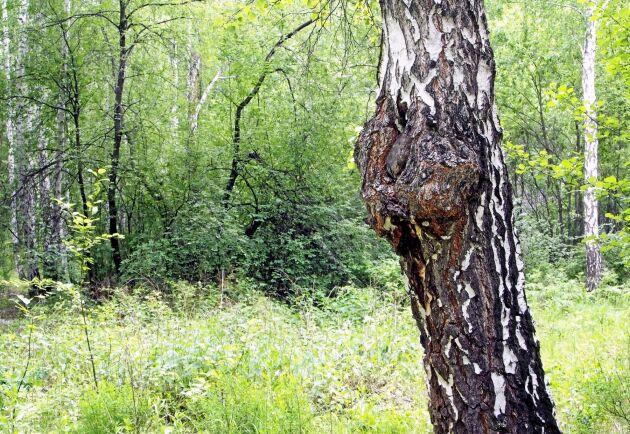 Sprängtickan växer på björk, och får trädet att utveckla karakteristiska svarta, skrovliga knotor.