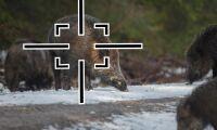 Enad front i Danmark –utrota vildsvinen