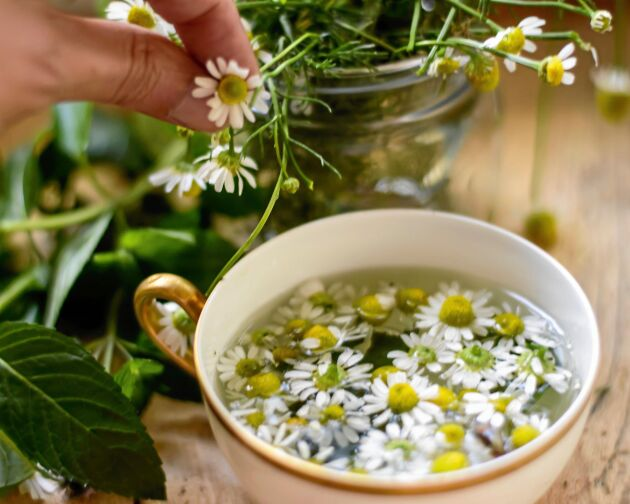 Kamomill används traditionellt som smaksättare till te.