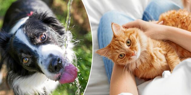 Så ser du till att din hund eller katt inte får värmeslag