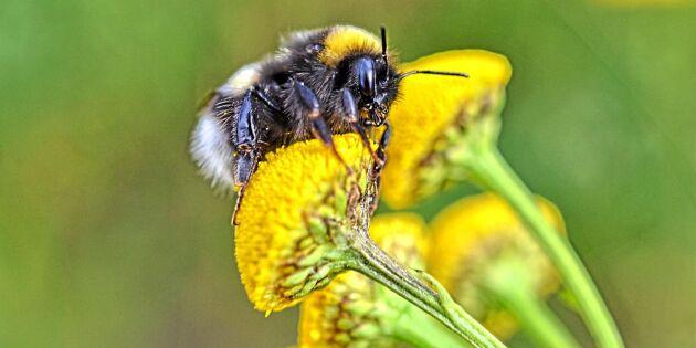 EU-revisorer: Skyddet för pollinatörer är för klent