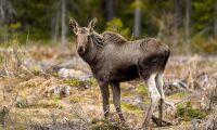 Färre älgar och låga kalvvikter i norr