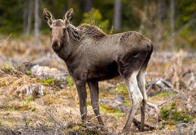 Älgobsen i norra Sverige visar färre älgobservationer, färre kalvar per vuxet hondjur och lägre slaktvikter på kalv.