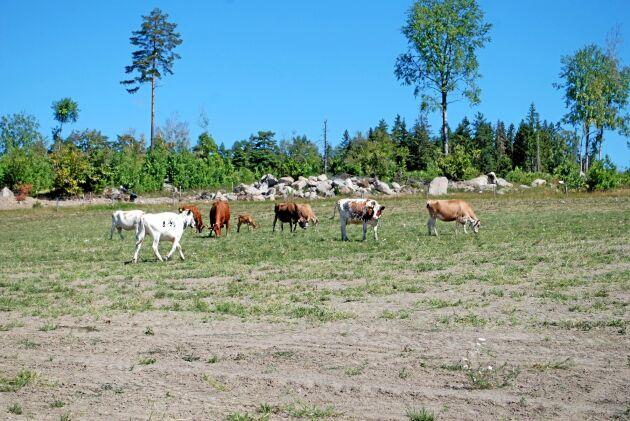 Resta gård är inte ensamma om att ha magra beten. Torkan har varit tuff i Uppland och det märks på vallskörd, spannmålsfält och betesmarker.