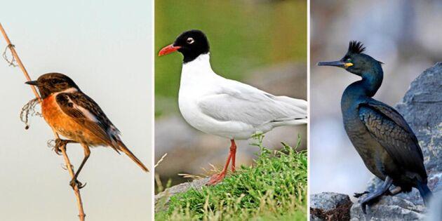Här är Sveriges 6 nya fågelarter