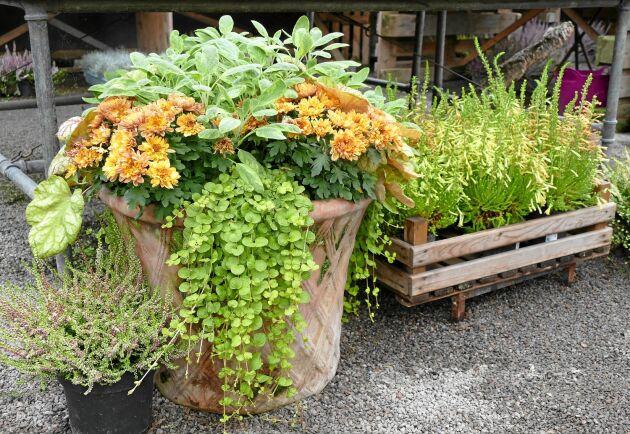 Bulla upp för en fin höst med växter i krukor.