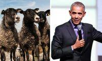Här är fåren som lärt sig känna igen Obamas ansikte