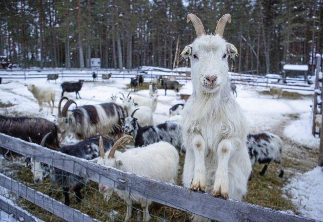 Lappgetterna på gården ingår i genbanken för lantdjur.