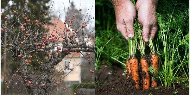 Färre odlar äpple – fler odlar morötter