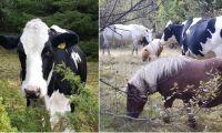 Domen: Kvigan Hilda får inte bo med bara hästar