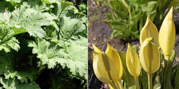 Invasiva växter breder ut sig – nu kan du hjälpa forskarna