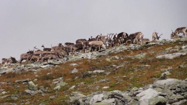För att hindra smittspridning slaktas vildrenen vid Nordfjella ut. Arkivbild.