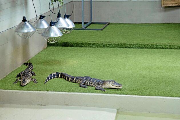 Alligatorerna kan bli tre till fyra meter långa när de är fullvuxna.