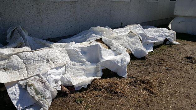 Under plast ligger de döda fåren från onsdagens vargattack. Foto: Marita Johansson.