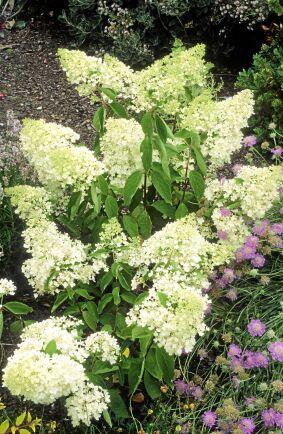 7) Syrenhortensia, Hydrangea paniculata, 'Grandiflora' är en brett uppväxande buske med krämvita blomklasar som på hösten övergår i rosa toner. Blir 150–200 centimeter hög.