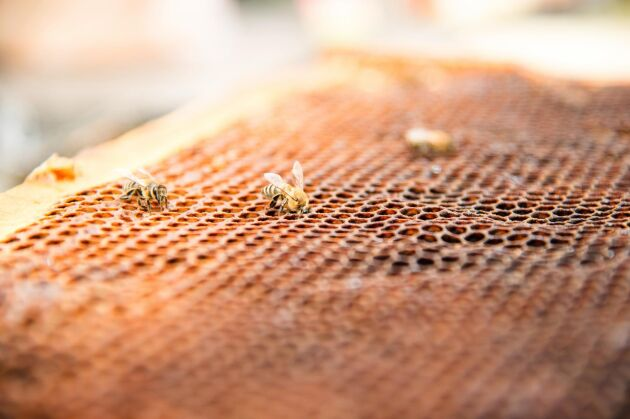 Döda och döende bin.