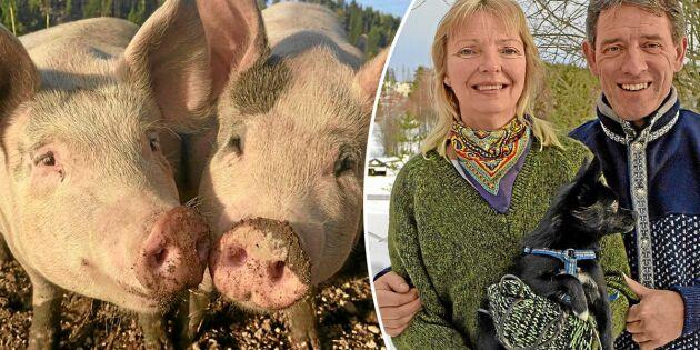 Veterinärerna Per och Helena sadlade om till köttbönder: Våra grisar har ett värdigt liv